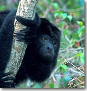 Howler Monkey on Monkey River